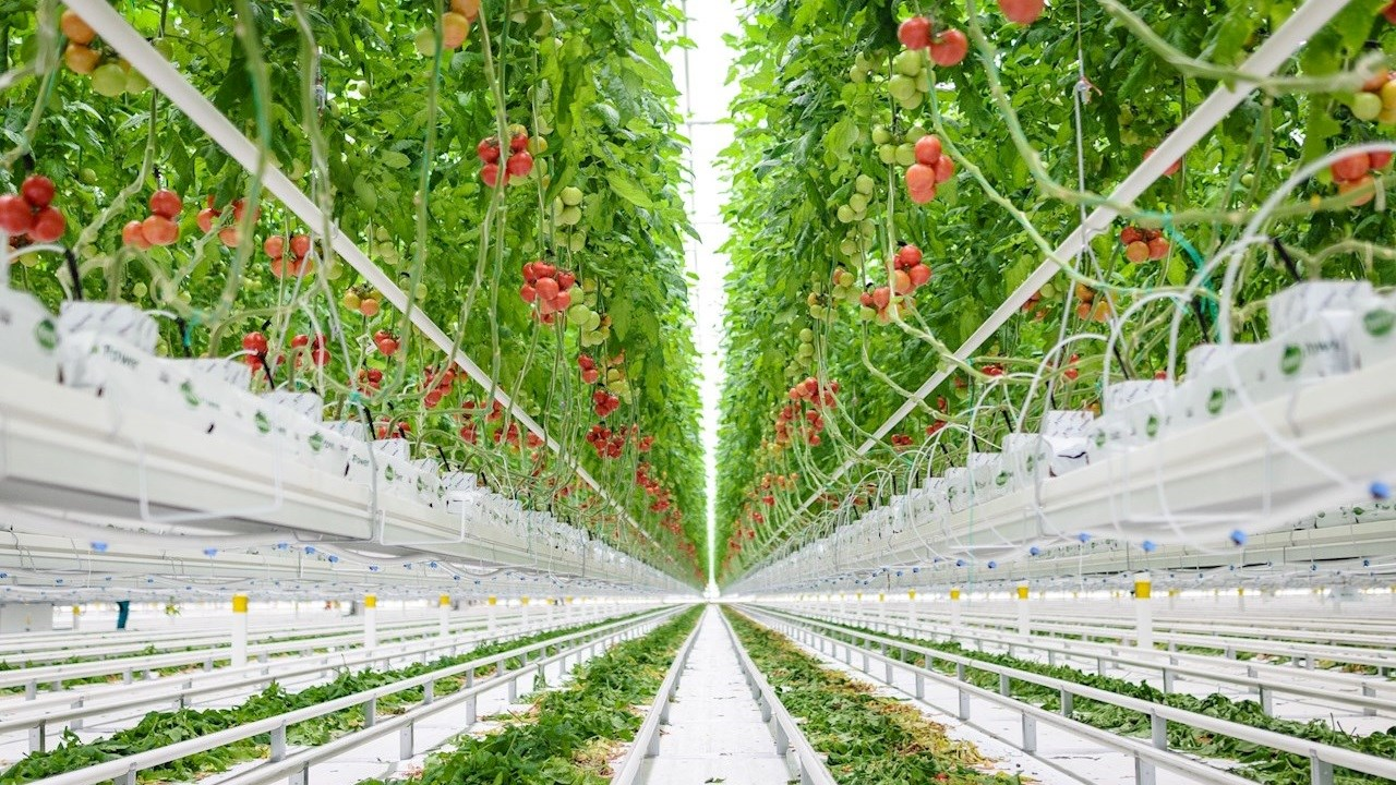 Tomater året om med hjälp av ABB-teknik